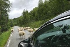 Owce-na-drodze