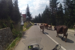 Transalpina - krowy